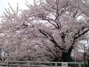 大口アピタ付近の桜です。
