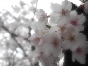 五条川の桜です。